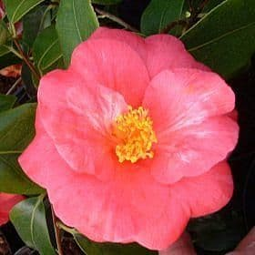Camellia 'Lady Clare' - Find Azleas,Camellias,Hydrangea and Rhododendrons at Loder Plants